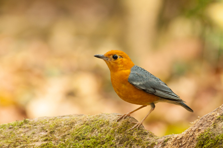 thrush: Orange-headed Thrush bird on tree root