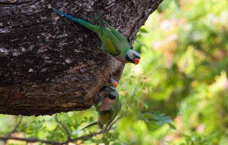 periquito: The parakeet father and mother feeding the flapper Foto de archivo