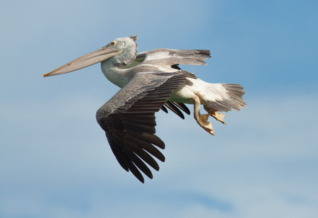 The pelican flying on the blue sky background