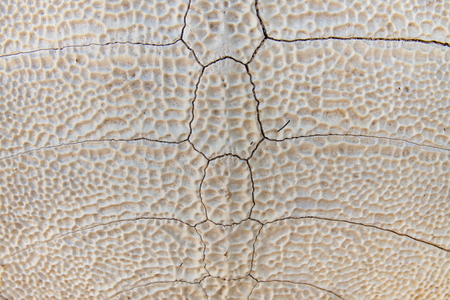snapping turtle: Background of the pattern on tortoiseshell skeleton