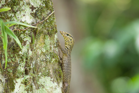 The young water monitor climb up the tree