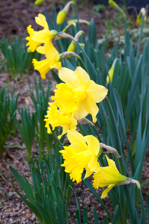 The yellow flower of hippeastrum in the garden Stock Photo
