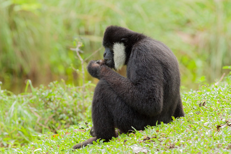The black gibbon take a rest on the grass Stock Photo