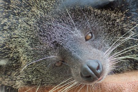 bearcat: The close up head of bearcat in the zoo