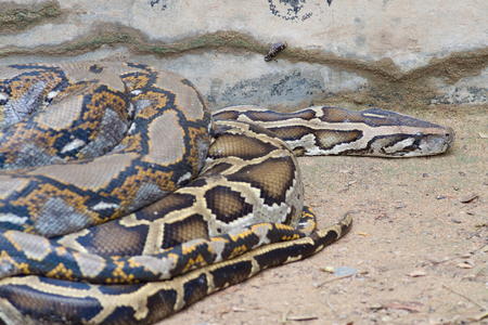 The big python snake sleeping in the zoo