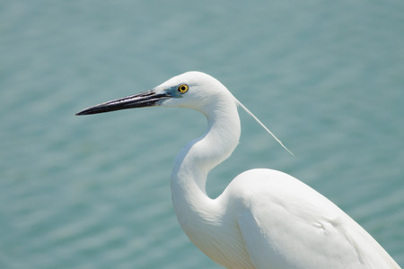 The white egret bird head with the long bill Stock Photo