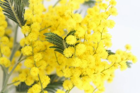 branch of mimosa photo