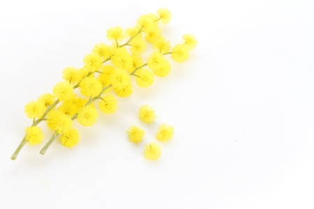 mimosa on white background photo