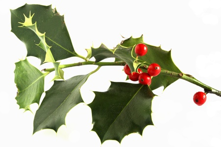 branch of holly photo
