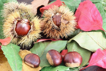 chestnuts on leaves