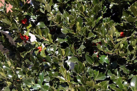 Bush of holly photo