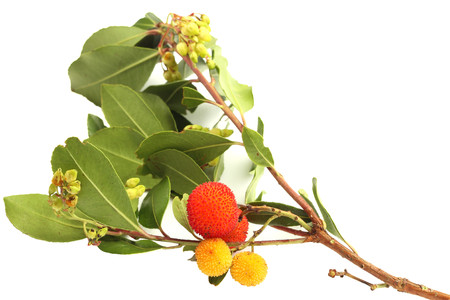 Branch of strawberry tree with ripe and unripe fruits and leaves photo