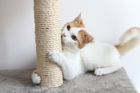 Red and white cat and scratching post Imagens