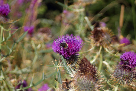 Thistle flower with bee
