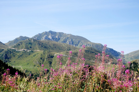 Flowers of fireweed in mountain landscape