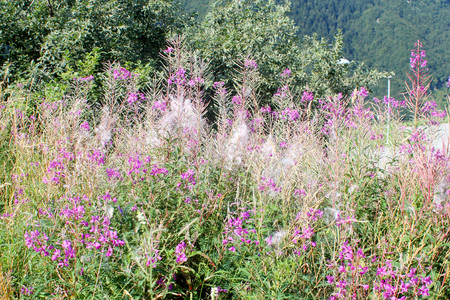 fireweed: Flowers of fireweed