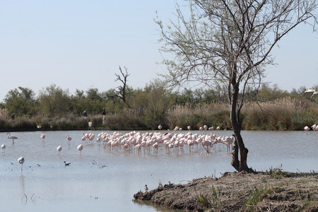 Pink flamingos in Camargue, France