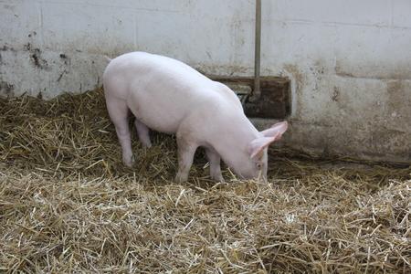 アーミッシュ村で豚舎で豚 写真素材