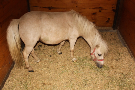 アーミッシュの村の納屋にある小さな品種の馬 写真素材