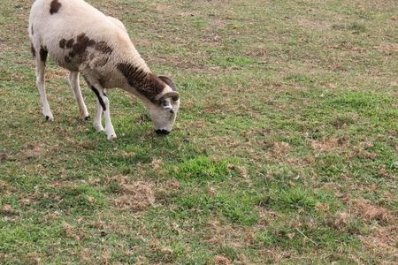 アーミッシュ村で小さな牧草地の羊の放牧