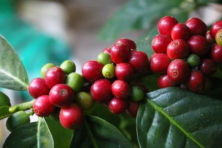 large tree: coffee seed on the tree