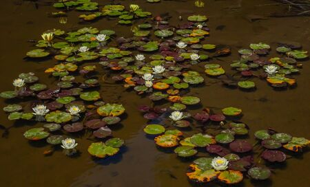 floating water lilies and lotus clusters bloom in de young museum, san franisco, california during noon sunlight 写真素材 - 129706522