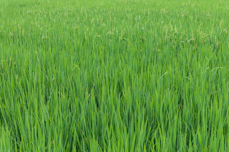 The young rice in the plantation field for background and texture