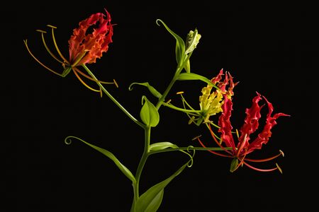 Gloriosa lily isolated on black background