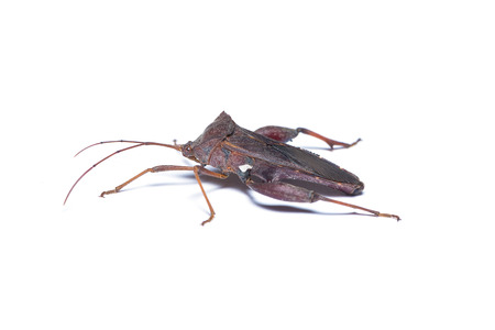 Dark brown assassin bug isolated on white background