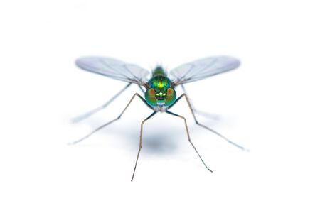 Green-to-blue metallic lustre long legged fly isolated on white background