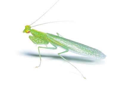 raptorial: Tropidomantis or praying mantis isolated on white background Stock Photo