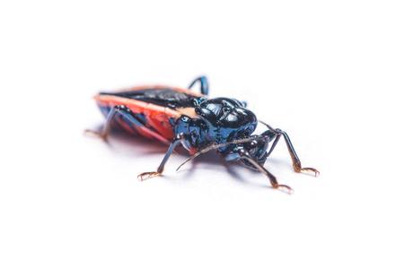 Assassin Bug or Hemiptera bug isolated on white background