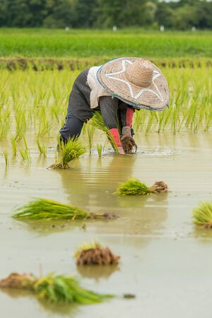 The farmers are transplanting the rice in the field in northern part of Thailand