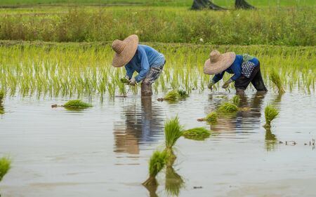 CHIANG MAI, THAILAND, SEP. 1, 2017 : The farmers are transplanting the rice in the field in northern part of Thailand