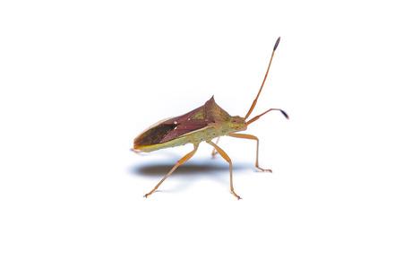 Assassin bug isolated on white background