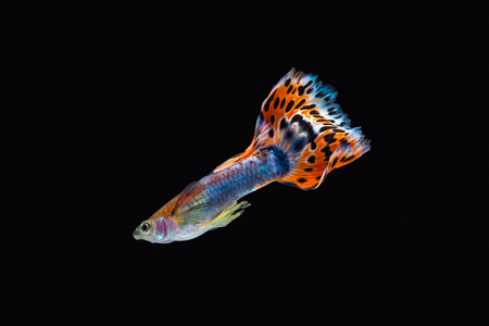 Colorful male guppy isolated on black background Imagens - 88708906