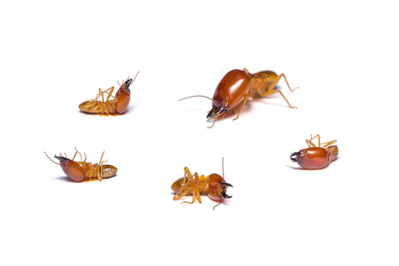 cellulose: Schedorhinotermes termites isolated on white background