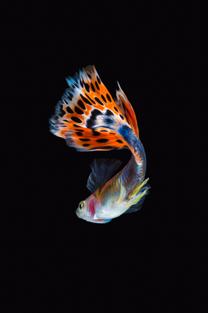 Colorful male guppy isolated on black background Imagens - 88708939