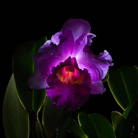 Cattleya lueddemanniana isolated on black background