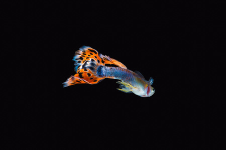 Colorful male guppy isolated on black background