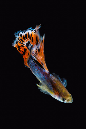 Colorful male guppy isolated on black background Imagens - 88708949