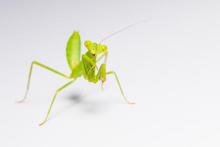 raptorial: The praying mantis in various gestures.