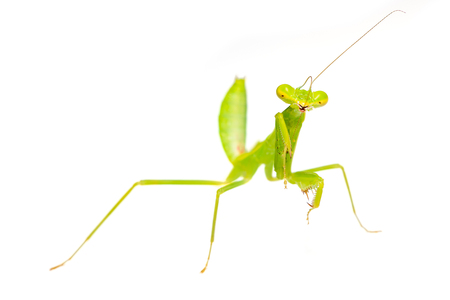 The praying mantis in various gestures.