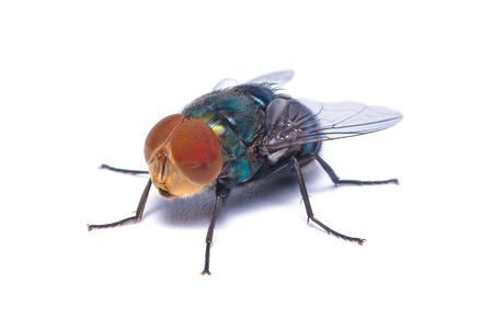 The close up photo of blow fly isolated on white background Stock Photo