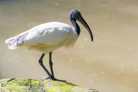 The Australian white ibis (Threskiornis molucca) with white plumage with a bare, black head, long downcurved bill and black legs.
