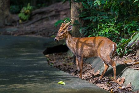 A Feas barking deer standing on the roadside Stock Photo