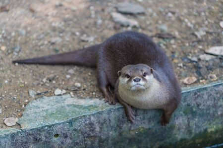 Asian small clawed otter in the zoo