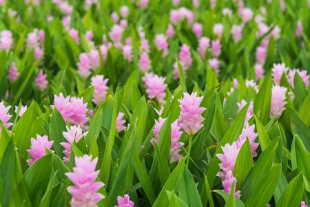 Curcuma is a genus of about 100 accepted species in the family Zingiberaceae that contains such species as turmeric and Siam Tulip.