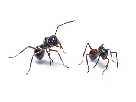 일반적인 검은 개미 또는 흰색 배경에 고립 된 검은 정원 개미
