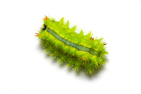 Slug moth caterpillar isolated on white background